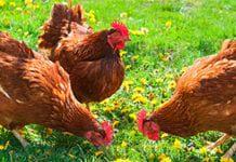 chickens_farm_tmb