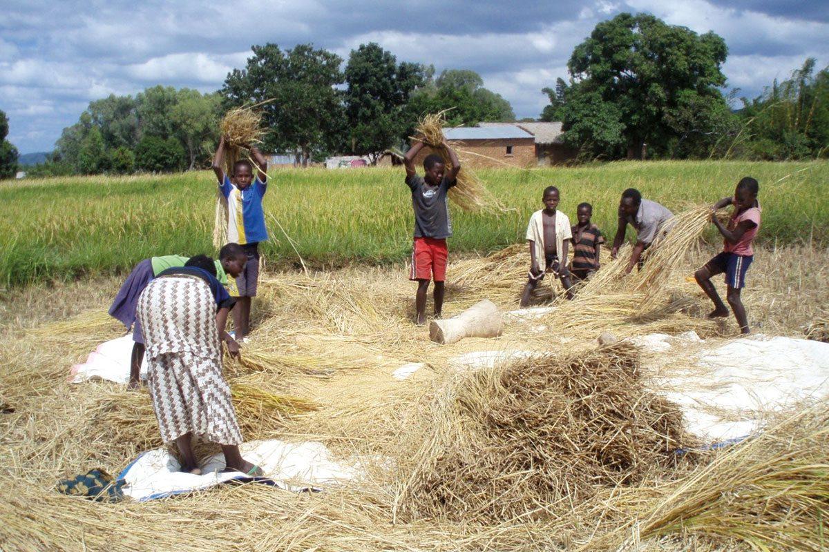 rice-farmers-malawi