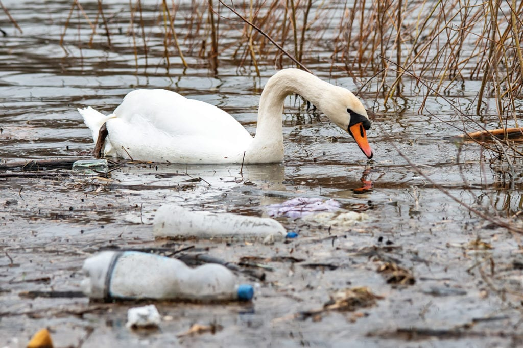 swan with plastic waste